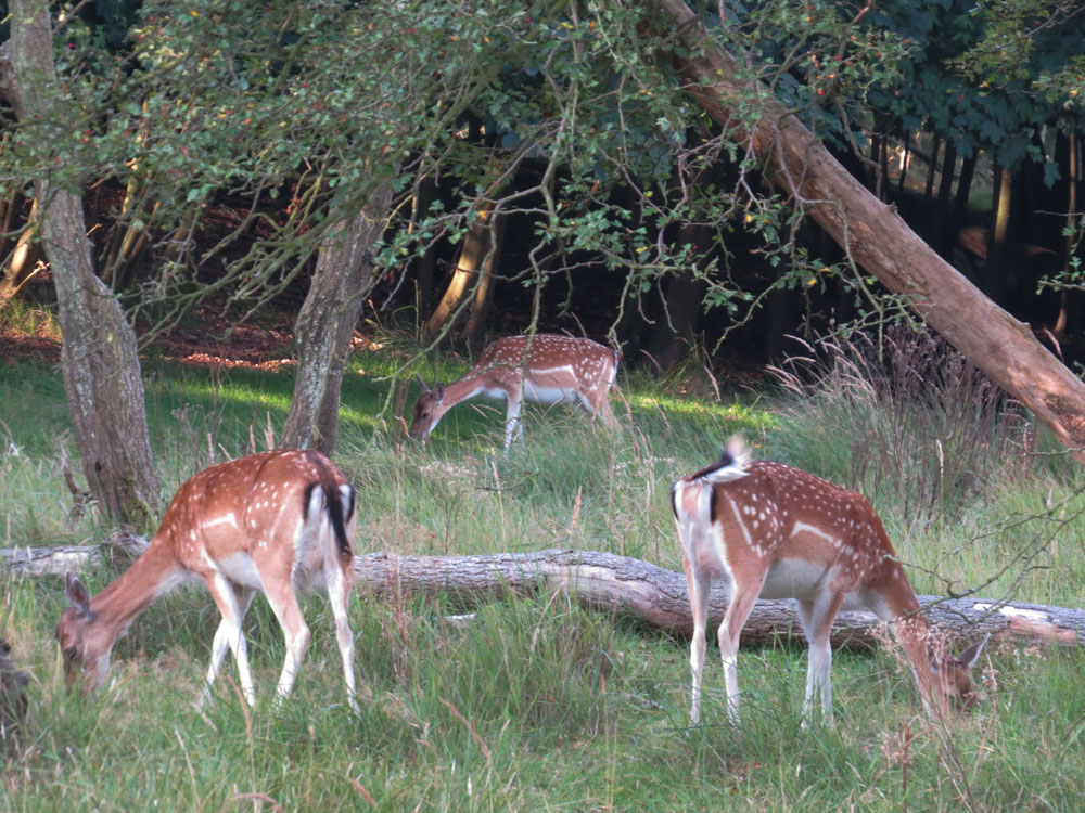 Deer grazing peacefully at the Amsterdamse Waterleidingduinen