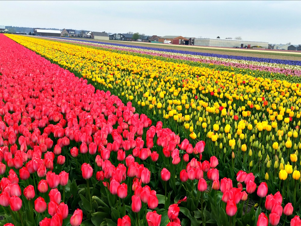 Flower fields in Lisse, close to the Keukenhof