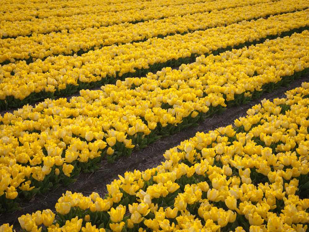 Yellow tulip fields near Amsterdam