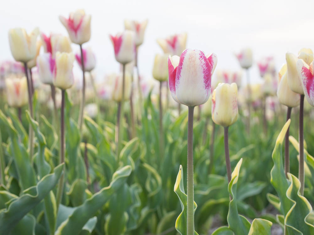 Purple and white tulips in the flower fields near Amsterdam