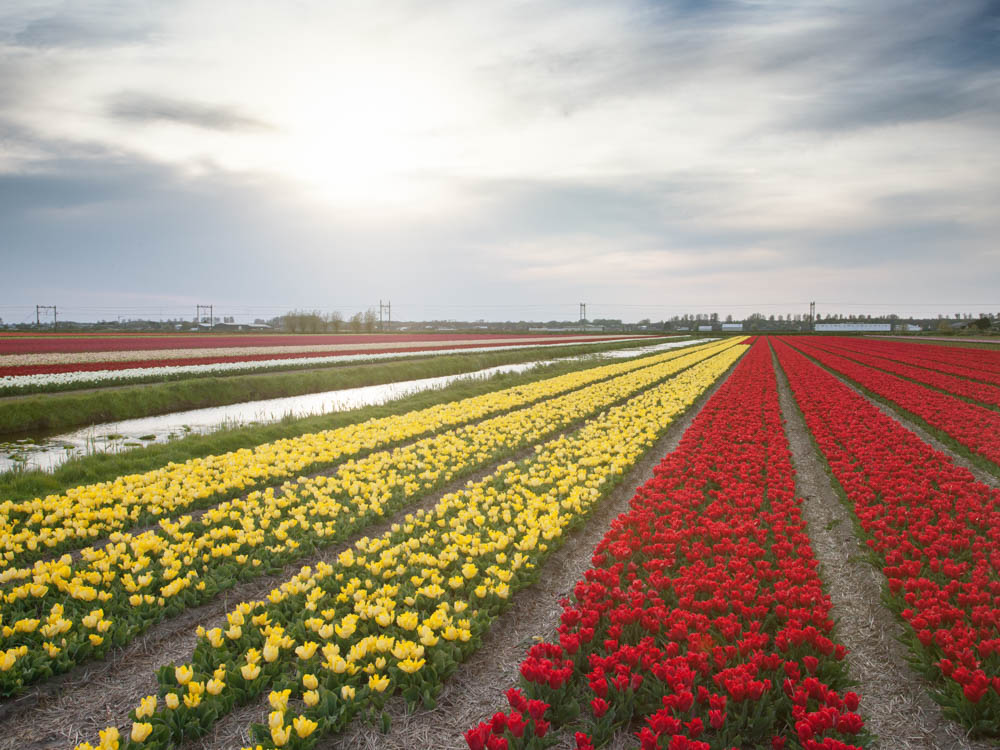 Tulip Fields in the Flower Strip or 'Bollenstreek' near Amsterdam.