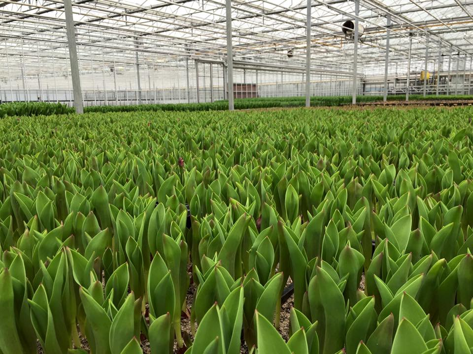 Growing tulips in large greenhouses