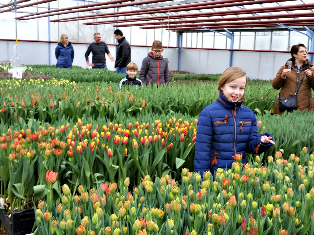 Growing tulips in a small scale greenhouse